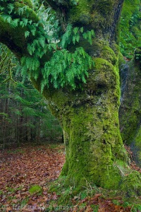 Licorice Ferns and Spaghnum Moss grow on a Big Leaf Maple tree